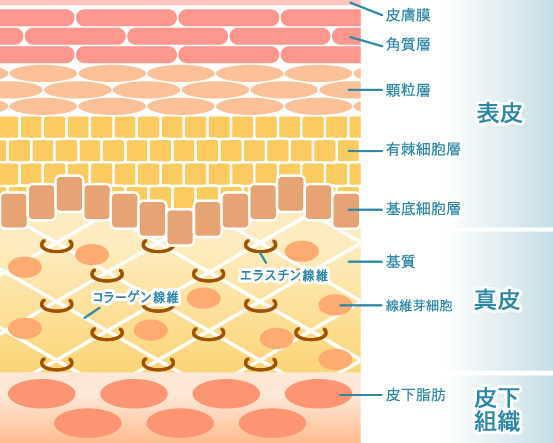 (否定派)強化な皮膚のバリア構造により容易に突破できない!