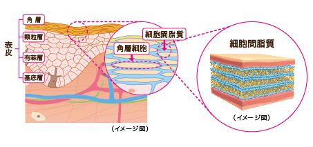 「細胞間脂質」